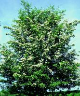 Blackthorn_tree.jpg
